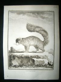 Buffon: C1770 Coquallin, Antique Print